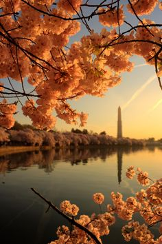Washington DC Springtime Cherry Blossoms
