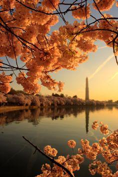 Washington DC Springtime Cherry Blossoms