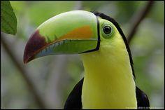 Raibow-bill Toucan, Costa Rica. | Flickr - Photo Sharing!
