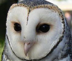 Masked Owl by Ian Thomas.