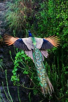 Magnificent Beauty  Peacock...