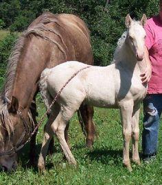 Do you own a double dilute horse, i.e Cremello, Perlino, smokey cream?
