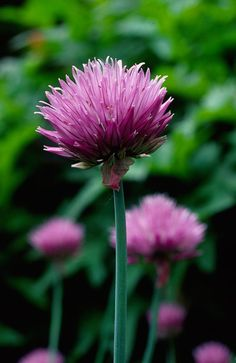 chives flower plant - Google Search