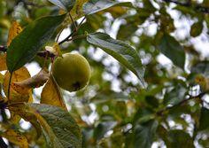 Omenapuutarha