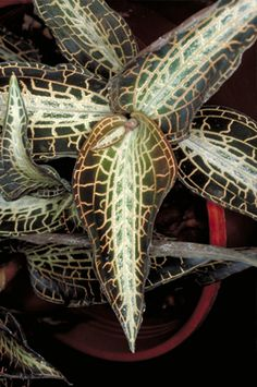 """What are Orchids? """"In Goodyera, Zeuxine, Erythrodes and their relatives, the leaves can range from green to deep purple or black and may be mottled or reticulately veined with silver (Fig. 15)."""" - the Swiss Orchid Foundation at the Herbarium Jany Renz."""