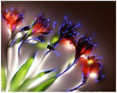 Effet Kirlian sur les fleurs électrographiées à 80.000 volts — Robert Buelteman