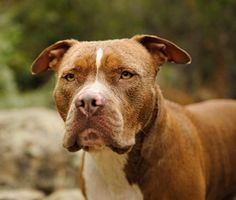 A new Pit Bull ban in Montreal, Canada, comes after a 55-year-old woman was killed in a brutal dog attack earlier this year. But the ban, which goes into effect Oct. 3, has been met with outrage and online petitions to stop it.