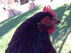 Red looking like she will start laying eggs soon:)