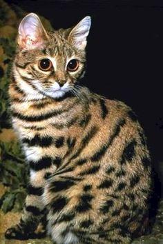 Черноногая кошка (Felis nigripes).