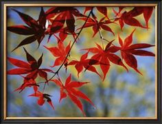 Close Views of Japanese Maple Leaves Photographic Print by Darlyne A. Murawski at Art.com