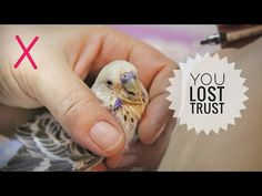 7 ways to lose budgie's trust Diy Budgie Toys, Cockatiel Toys, Small Birds, Pet Birds, Baby Budgies, Homemade Bird Toys, Parrots, Parakeets, Parakeet Care