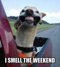 humor, funny, dogs, car, pick-up truck, I smell the weekend, waiting for the weekend, head out the window, wind, breeze, road trip