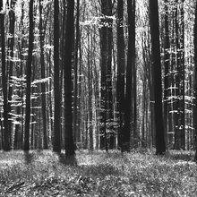 Valokuvatapetti - Dark Tree and Bluebells