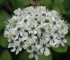 Allium nigrum - Zier-Lauch