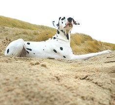 #dalmatian   #dalmatiansofinstagram   #dalmatians_of_instagram   #dalmata   #dalmatians   #dalmatianspotlight   #dogphotography   #dogsandpals   #doglovers   #doglife   #topdogphoto   #topdog   #ilovemydog   #beachdog   #ruffpost   #instagramdogs   #dogs   #dogoftheday   #myfriend   #mydog   #dogs_of_instagram   #dog_features   #dalmatian_feature   #sendadogphoto   #paws   #lovedog   #lying   #beach   #king   #relaxing