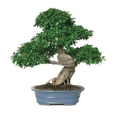 Grafted Ficus