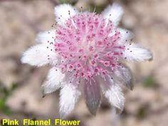 Pink Flannel Flower