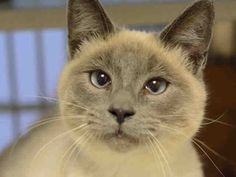 Meet SAWYER, an adoptable Siamese looking for a forever home. If you're looking for a new pet to adopt or want information on how to get involved with adoptable pets, Petfinder.com is a great resource.