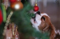Cavalier King Charles Spaniel Puppy helping with the Christmas Tree decorations!❤️ This really happens!