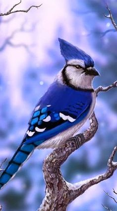 The Blue Jay is a passerine bird in the family Corvidae, native to North America