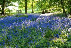Since 1972 the Arlington Bluebell Walk and Farm Trail based at Bates Green Farm has developed into seven interesting walks over three working farms. Green Farm, East Sussex, Spring Flowers, Beautiful Landscapes, Woodland, Places To Go, Trail, Travel Photography, Scenery