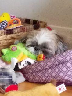 Sleeping Shih Tzu