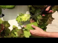 Harvesting Lettuce. Don't have yours yet? visit: www.cstolle.towergarden.com