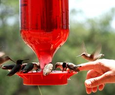 Attracting hummingbirds with all natural food!