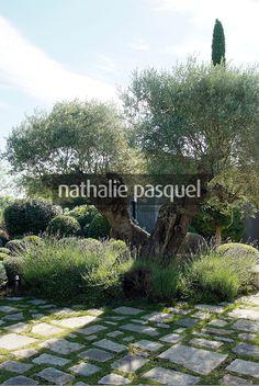 Olea europaea (olivier), Jardin mediterraneen. Paysagiste : Fanny Chaboud, Jean-Marc Pupetto. Conception ETS Derbez, France