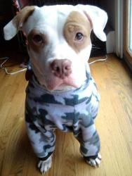 Kaleigh is an adoptable Pit Bull Terrier Dog in Torrington, CT. Kaleigh is a female pit bull mix who is approximately 1 to 2 years old and weighs approximately 50lbs. Kaleigh is a low/medium energy pu...