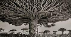 Ha viaggiato intorno al globo per catturare in bianco e nero la magnificenza di questi alberi che crescono negli angoli più remoti e che sembrano essere più vecchi del mondo stesso.