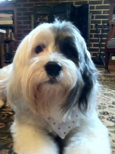 Tibetan Terrier, a bigger Georgie to keep up w/ my horse. The joy of imagination Big Dogs, I Love Dogs, Cute Dogs, Havanese Puppies, Dogs And Puppies, Tibetan Terrier, Bearded Collie, Animal Magic, Dog Rules