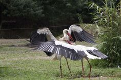 Flighting storks