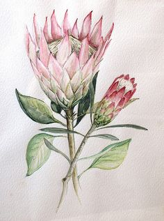 Botanical Illustration like the idea of the grouping and the color variation, not the flower. like the idea of the bud Protea Art, Protea Flower, Plant Illustration, Botanical Illustration, Botanical Flowers, Botanical Prints, Watercolor Flowers, Watercolor Paintings, Watercolour