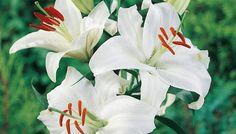 Consigli di piantagione e mantenimento dei gigli. I bulbi si piantano da settembre ad aprile-maggio a circa 15 cm di profondità su terreni ben dissodati, eventualmente emendati con terra di brughiera.