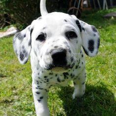 Curiosity in a Dalmatian Puppy