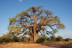 Photo about African baobab tree (Adansonia digitata), southern Africa. Image of wilderness, digitata, landscape - 11983885 Time For Africa, African Tree, Tree Story, Socotra, Baobab Tree, Tree Roots, Plant Species, Fantastic Art, Awesome