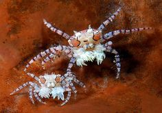 Boxer crabs. Image Credit: Marchione Giacomo
