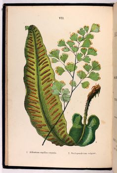 From British Ferns and their Allies by Thomas Moore, 1881