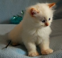 I would loooove to have a Flame Point Ragdoll some day!