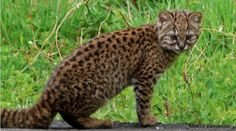 The 4 pound kodkod numbers among the smallest wild cats. They live in Chile, & are listed as vulnerable due to habitat destruction.