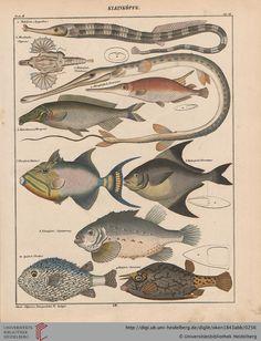 Lorenz Oken, Allgemeine Naturgeschichte für alle Stände, 1843. Fish / Fische, Kleinköpfe