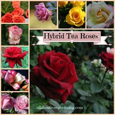 Floribunda Roses, Types Of Roses, Hybrid Tea Roses, Teas, Different Colors, Polymer Clay, Landscaping, Gardening, Flowers