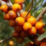 About Sea Buckthorn Berries. Many things are found in mother nature that provide excellent life giving nutrients, but something like sea buckthorn which is packed with so many varieties of nourishing and nurturing elements, is nothing short of a miracle. Berry, Natural Medicine, Kraut, Fruit Trees, Fruits And Vegetables, Perennial Vegetables, Superfood, Shrubs, Herbalism