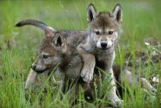 lupo cuccioli foto - Cerca con Google