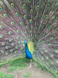have you ever seen a peacock that was really this color peacock