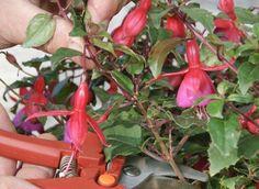Calendrier des boutures des fleurs et arbustes d'ornements
