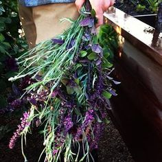 African Blue basil and Bachelor's Buttons harvest. Homestead Design Collective.