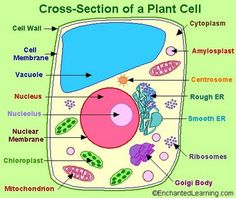 Line Drawing Of Plant And Animal Cells Labeled Plant Animal