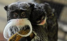 mustache monkey needs to be in the petting zoo
